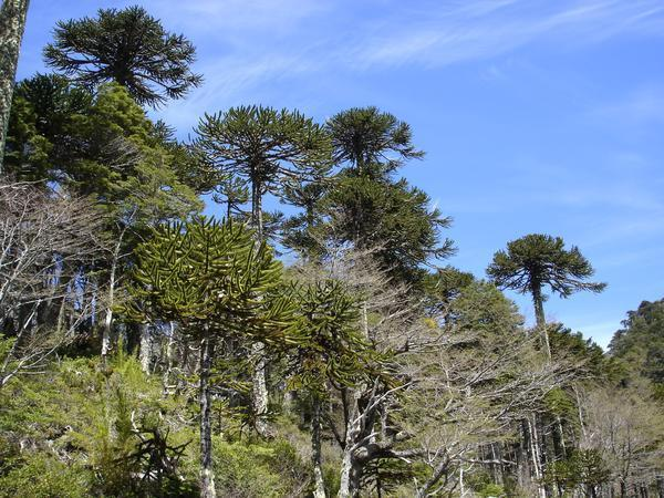 117657-Araucaria-Monkey-Puzzle-Forest-0.jpg