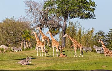 2017_BuschGardensTampaBay_Animal_Attractions_Serengeti_Plains_357x229.jpeg