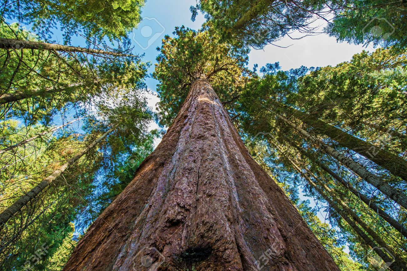 32170208-ancient-giant-sequoias-forest-in-california-united-states-sequoia-national-park-ca-usa-.jpg