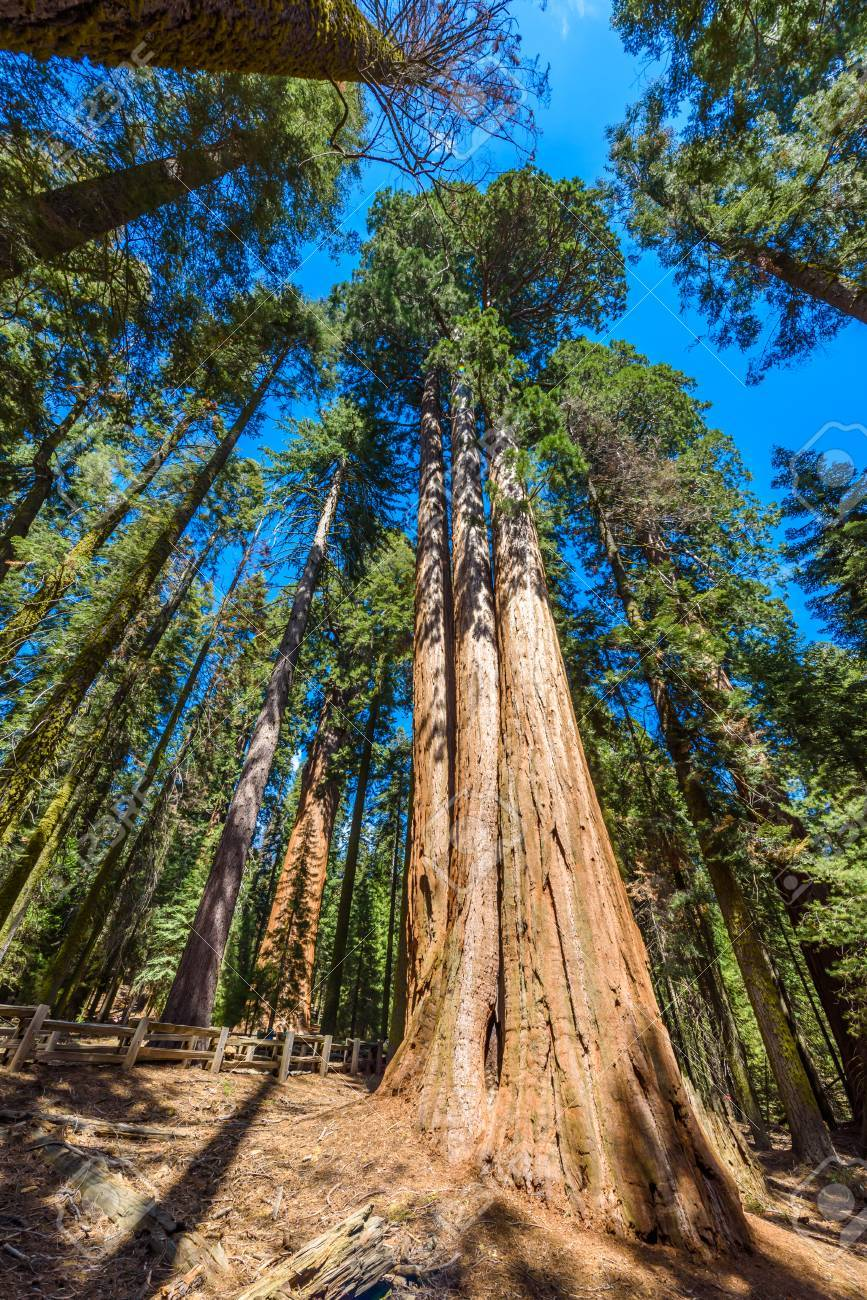 90265852-giant-sequoia-forest-the-largest-trees-on-earth-in-sequoia-national-park-california-usa.jpg