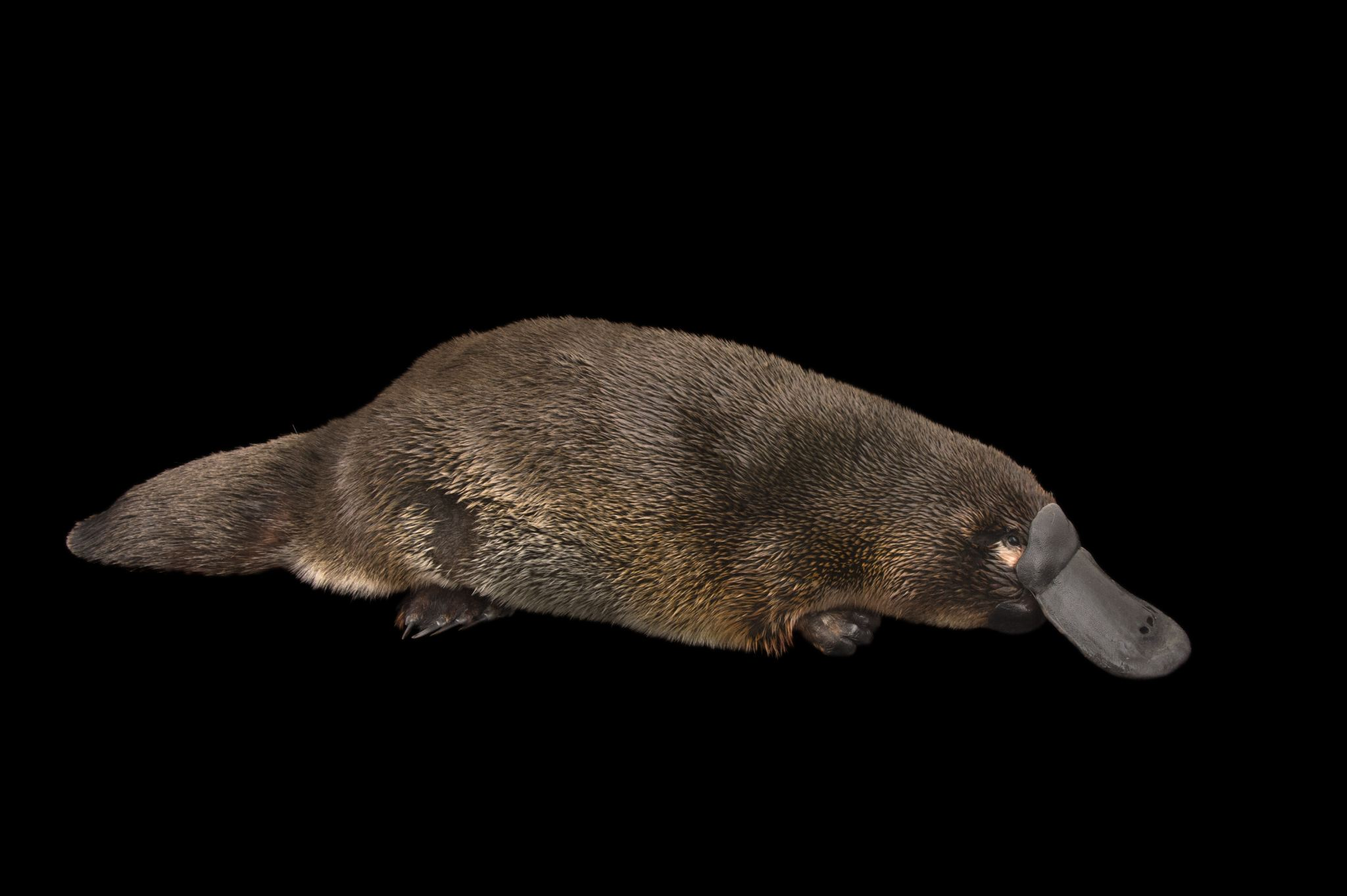 916367028_preview_platypus.JPG