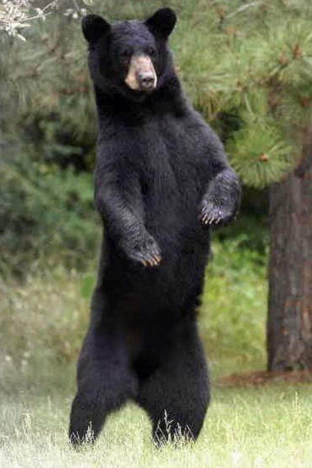 american black bear.jpg