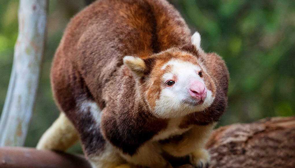 animal-hero-tree-kangaroo.jpg
