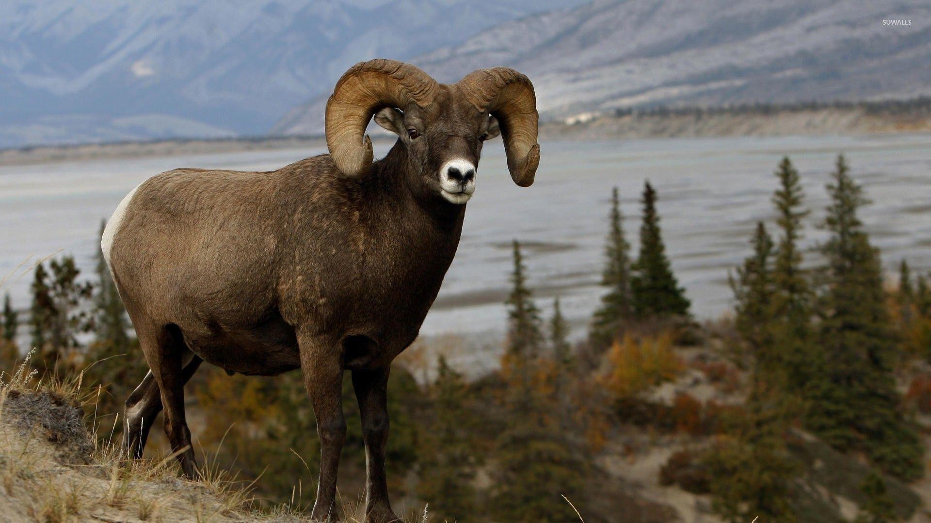 big horn sheep.jpg