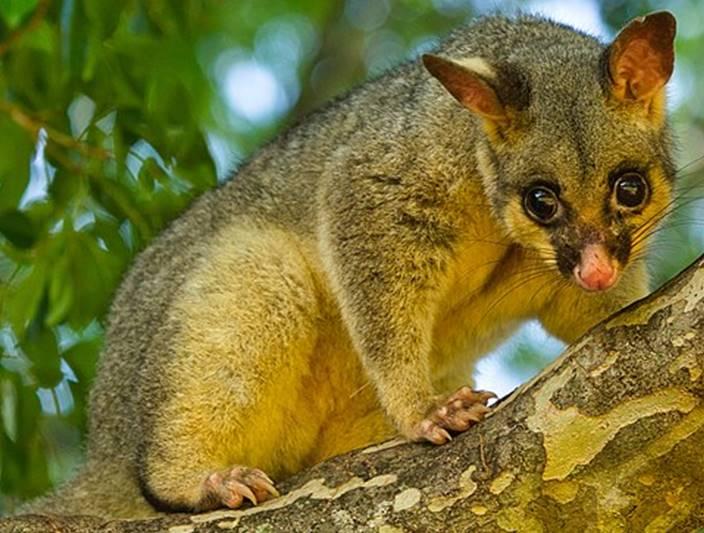 Brushtail possum.png.jpg
