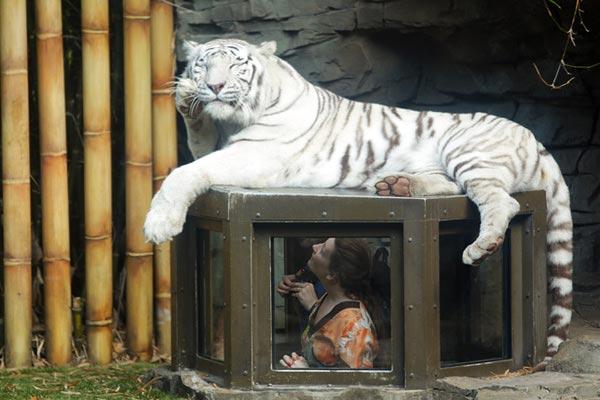 busch-gardens-tiger-encounter.jpeg