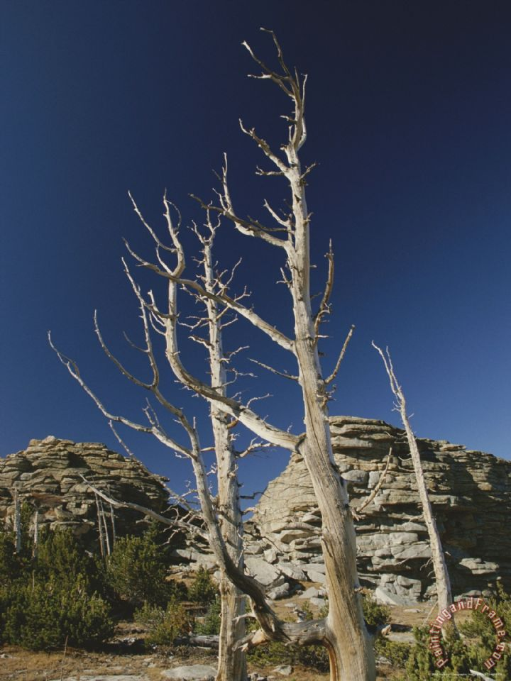dead_pine_trees_from_old_forest_fire_popo_agie_wilderness.jpg