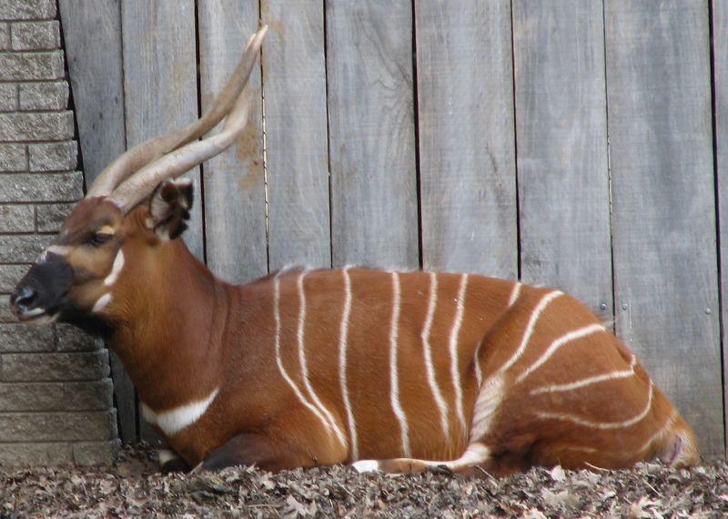 Eastern - mountain bongo.jpg