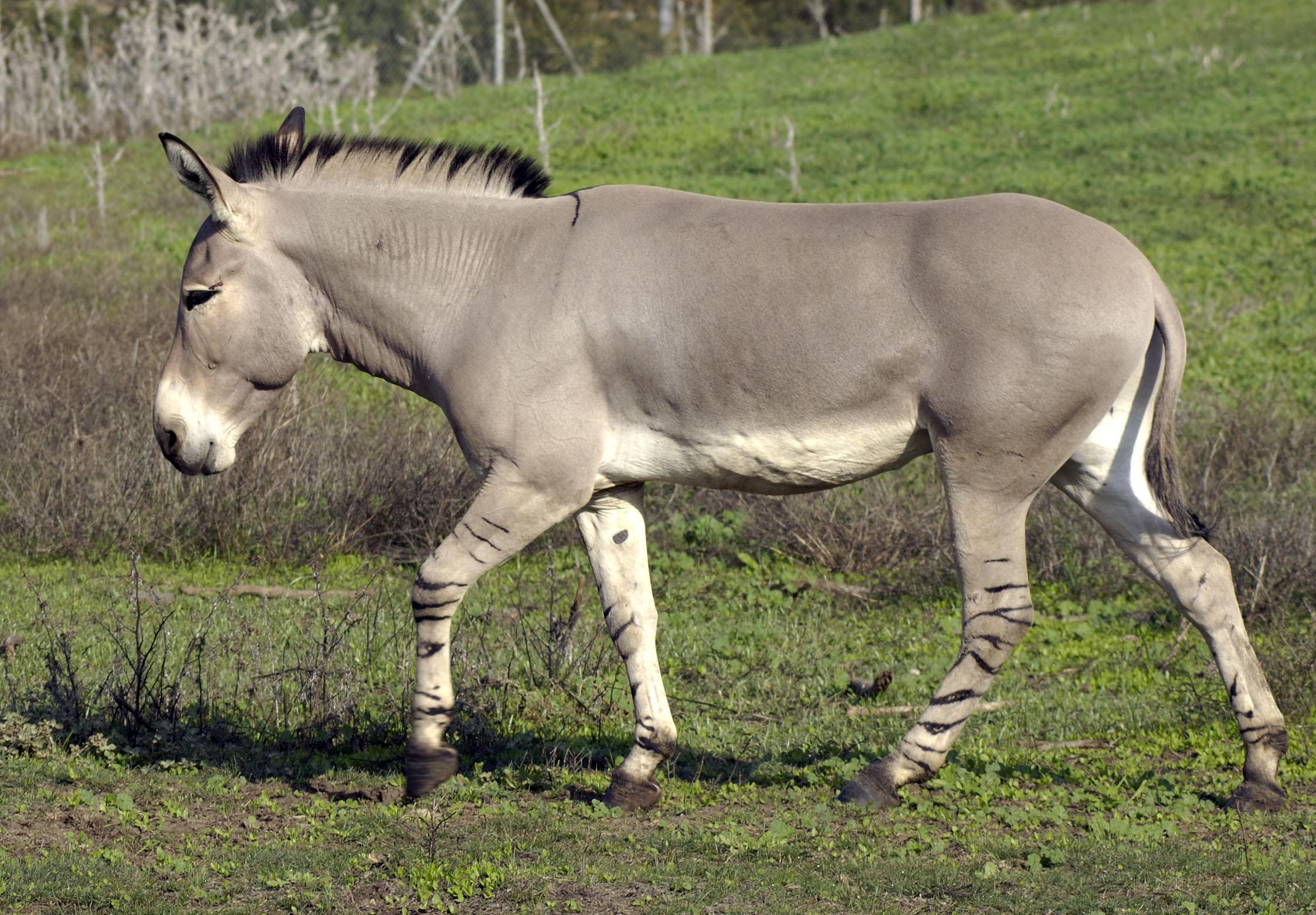 Equus africanus.jpg