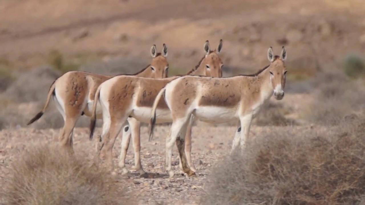 Equus hemionus.jpg
