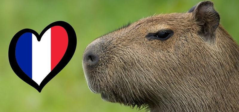 extra-large-Capybara-photo.jpg