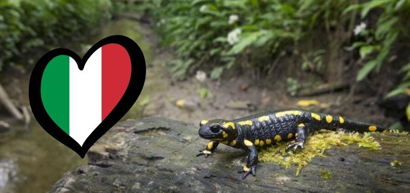 fire-salamander-salamandra-salamandra-20361830.jpg