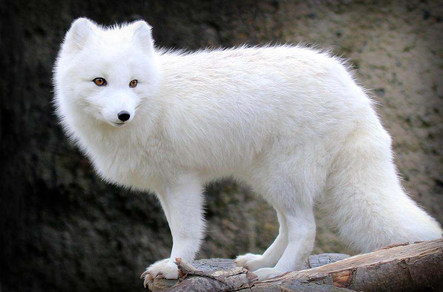 furry-arctic-fox-ii-athena-mckinzie.jpg