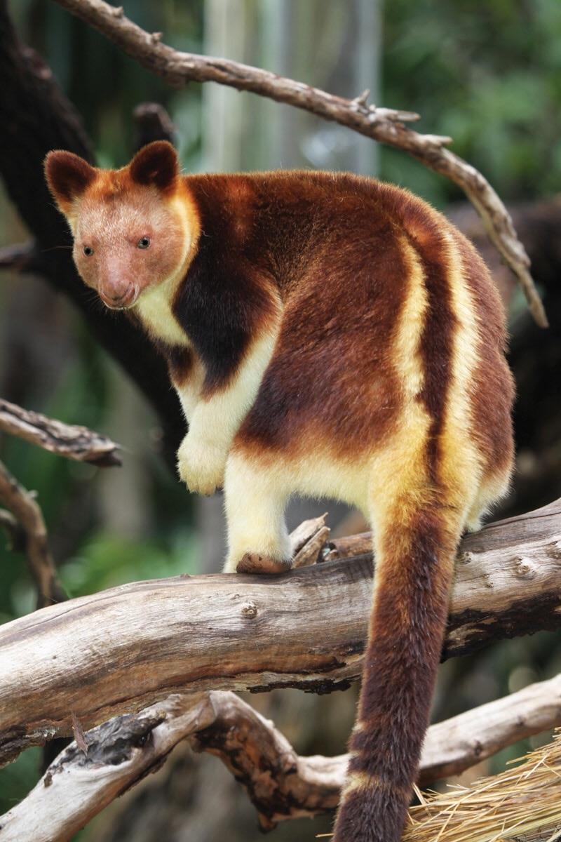goodfellows tree kangaroo.jpg