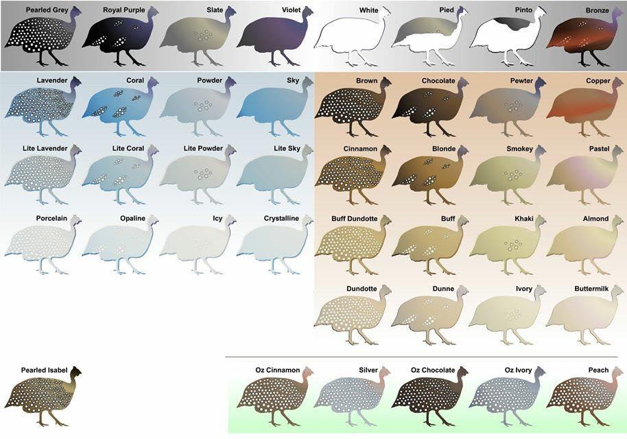 Guinea-fowl-colors.jpg