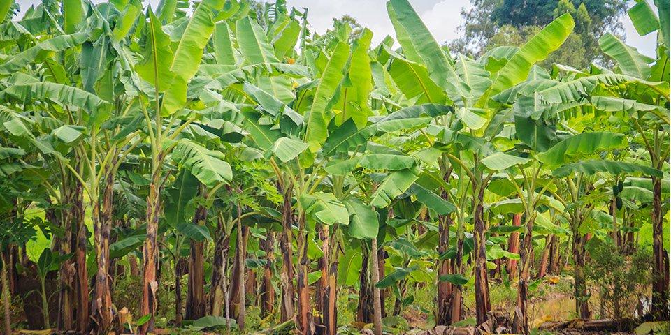 header banana palm.jpg