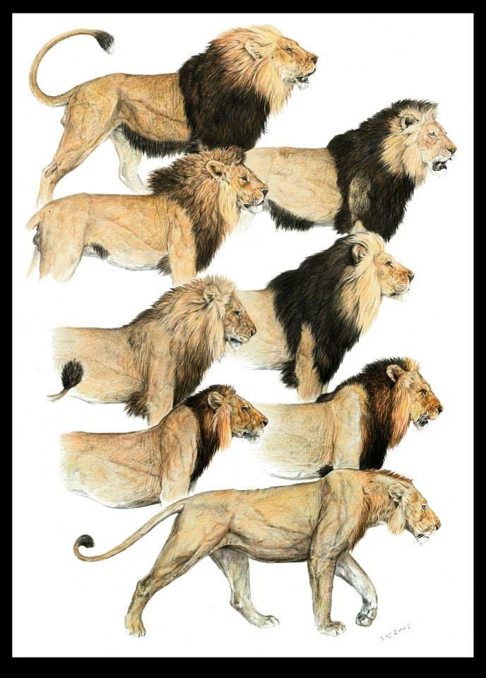 Lion mane variations.jpg