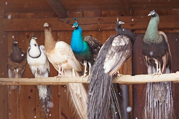 peafowls 2.jpg