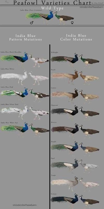 peafowls1.jpg