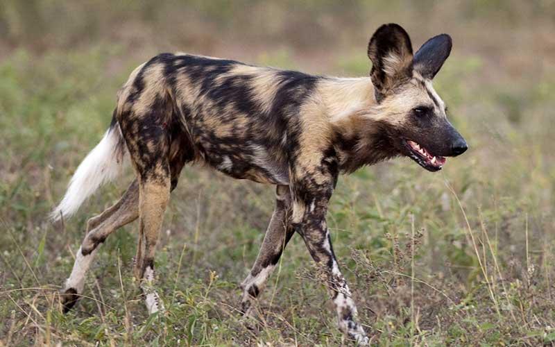 perro-salvaje-africano1-800.jpg