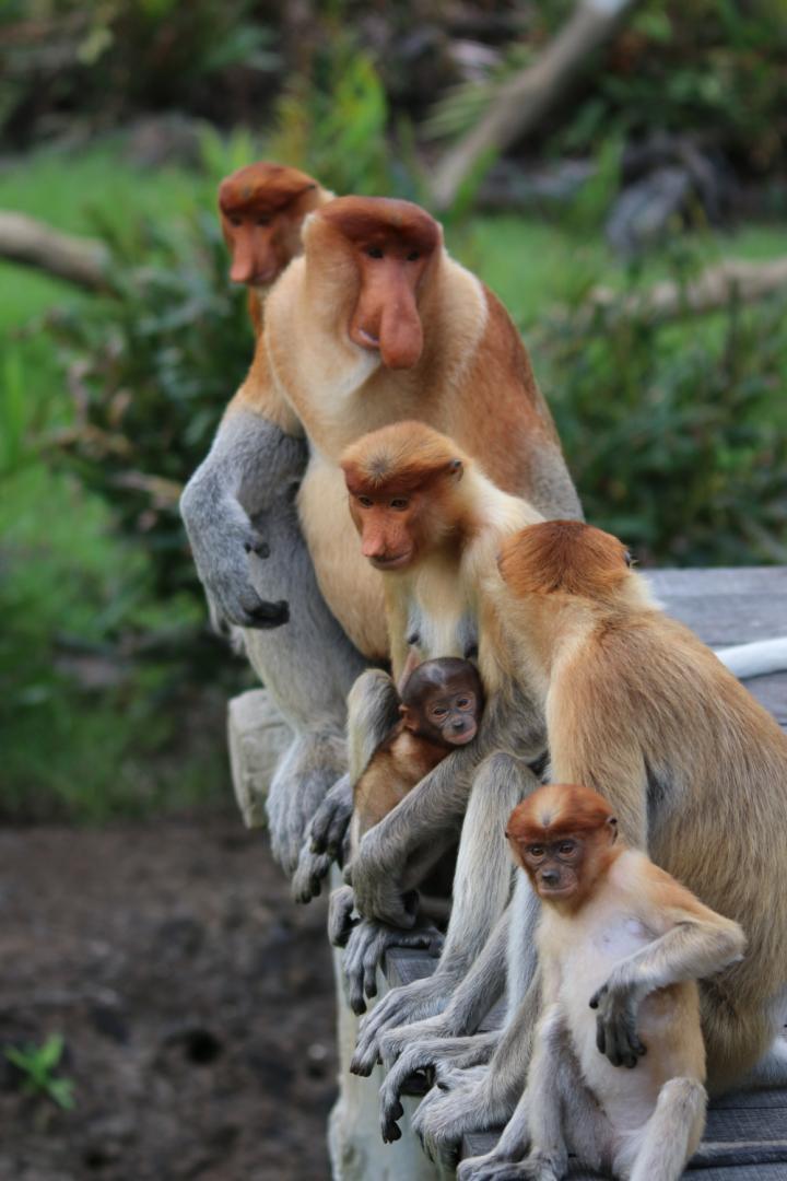 proboscis monkeys.jpg