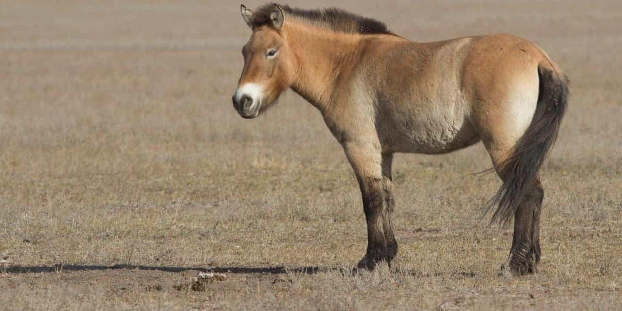 przewalkski's horse.jpg