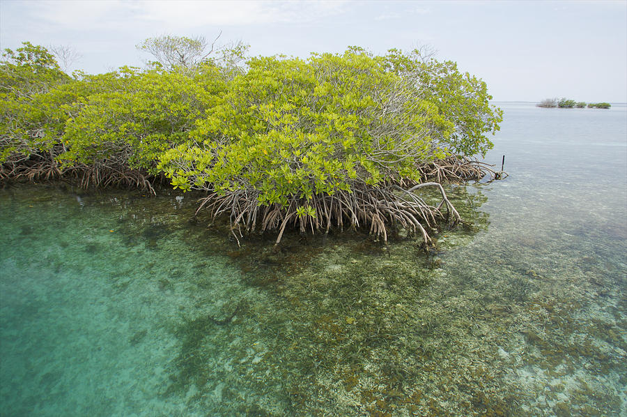 red-mangrove-trees-on-an-offshore-tim-laman.jpg