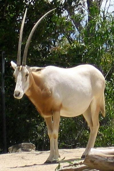 Scimitar Oryx.jpg