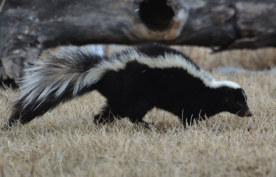Striped-Skunk.jpg