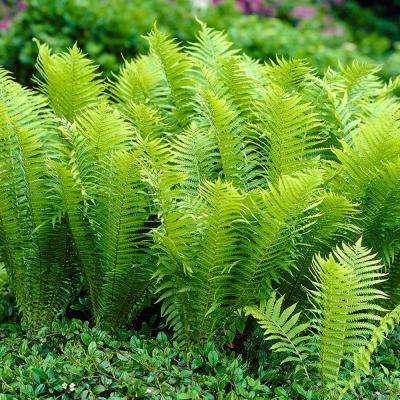 van-zyverden-shrubs-bushes-11331-64_400_compressed.jpg